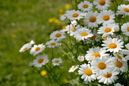 chamomile flower: Camomiles