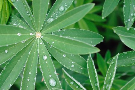 Water drops after rain on green leaves of decorative flower photo