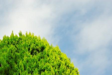 Thuja on blue sky photo