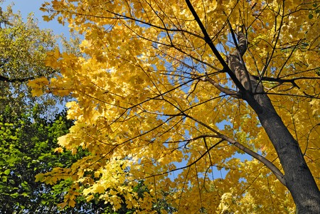 Maple tree in autumn colors photo
