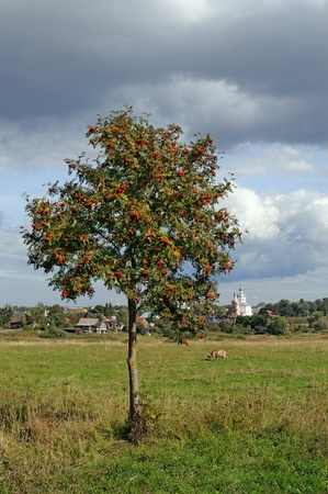 Lonely mountain ash tree on meadow and medieval Russian town Suzdal on horizon photo