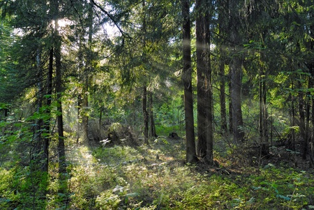 Sun beams shine through trees in forest photo