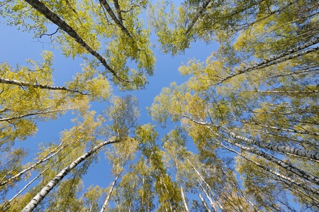 Looking up in birch forest with wide angle lens photo