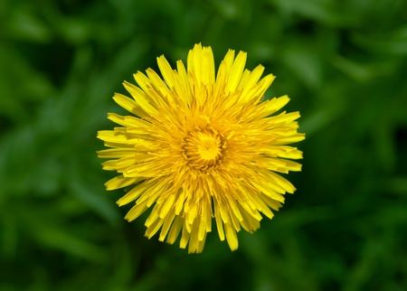 Top view of yellow dandelion flower Stock Photo