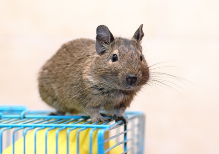 Chilean Degu sits on a cage Stock Photo