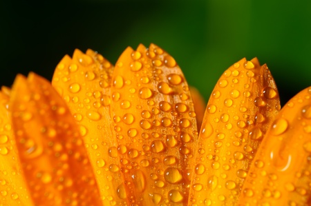 Flower petals with dew drops. Close-up with shallow DOF photo