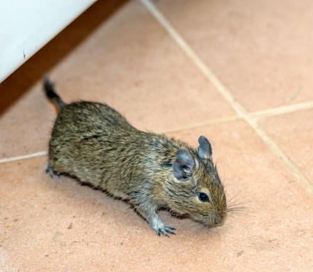 Home mouse running on the floor Stock Photo