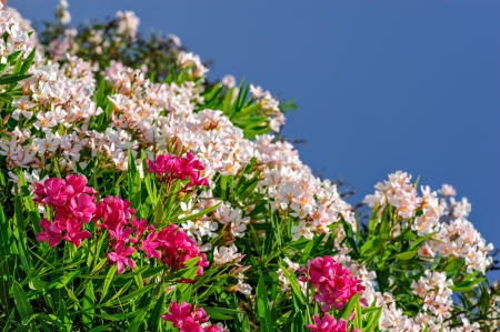 White and pink oleander flowers Stock Photo - 17482154