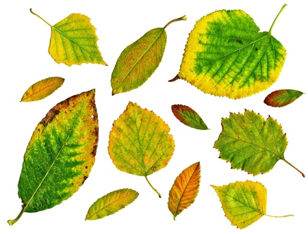 Set of green autumn leaves isolated in white background photo
