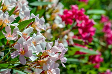 Close-up view of white and pink oleander flowers photo