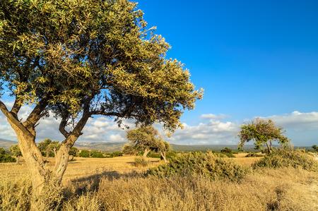 sequias: Olivo en la sequ�a prado