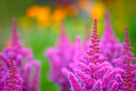 Close up view of astilbe flowers over blur background