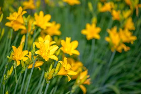 Beautiful yellow lilies in garden Stock Photo