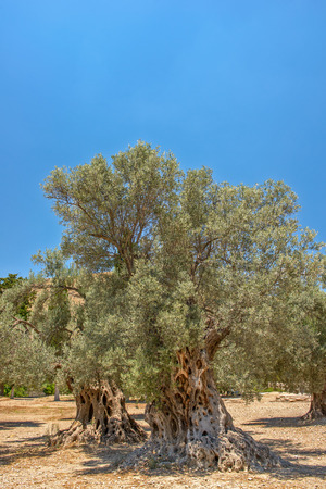 Landscape with old olive trees