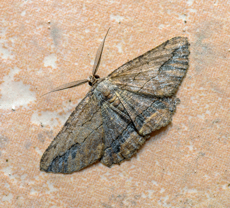 Night brown moth