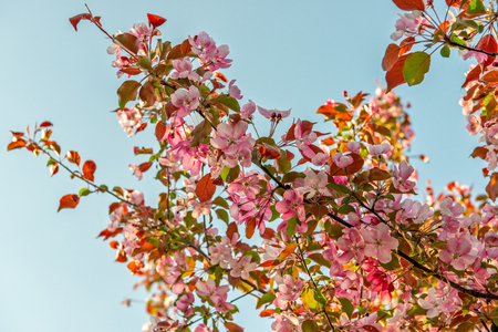 Pink spring flowers on apple tree in warm sunset light