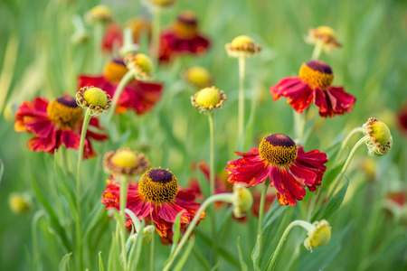 Close-up view of helenium flowers on blurred green background
