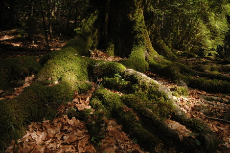 sprawl: Roots of old tree covered with moss. Picture taken in Valle de Ordesa, Pyrenees in SPain