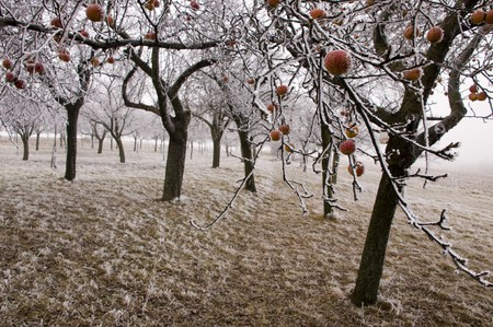Bio apples left on the trees in freezing winter photo