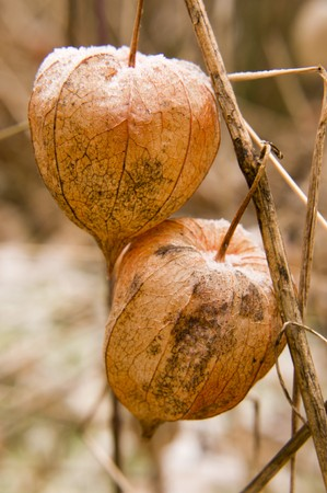 alkekengi: The beauty of Physalis alkekengi (Bladder cherry; Chinese lantern; Japanese lantern; or Winter cherry)