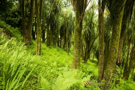 cordyline: Cabbage Trees in New Zealand section of The Batumi Botanical Garden