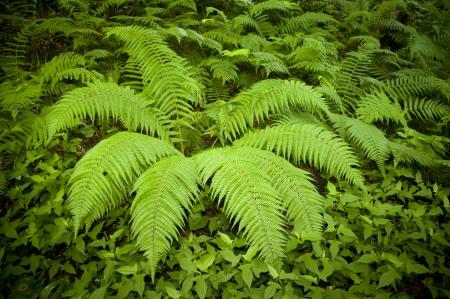 plants species: Una felce è uno qualsiasi di un gruppo di circa 12.000 specie di piante appartenenti al gruppo botanico conosciuto come Pteridophyta. [ Archivio Fotografico