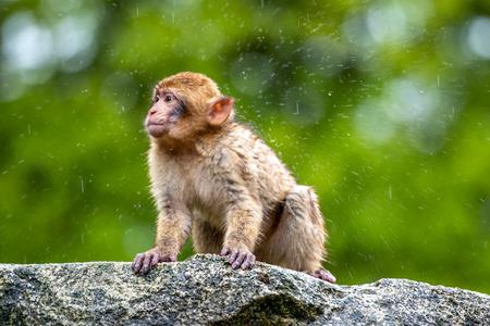 Young Macaca sylvanus monkey in the rain