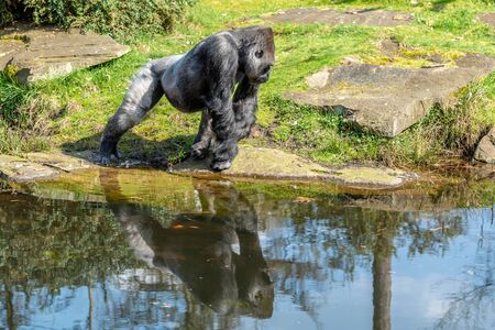 male gorillas run to dinner hoping to be one time