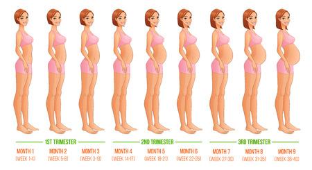 trimester: Nine months of pregnancy progression. Vector illustration isolated on white backgeound. Illustration