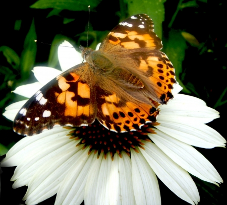 Painted Lady Butterfly on White Cone Flower photo