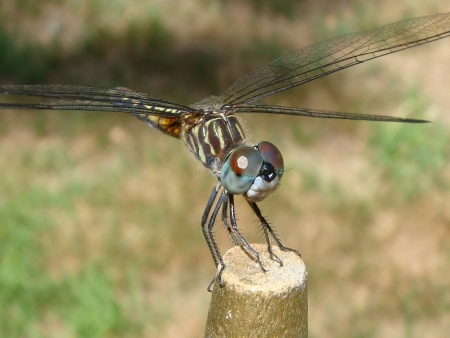 cloesup: Closeup of dragonfly on stick