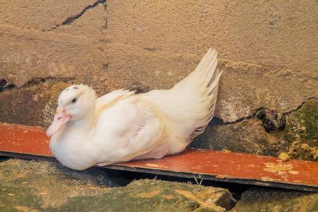 agachado: el pato está durmiendo