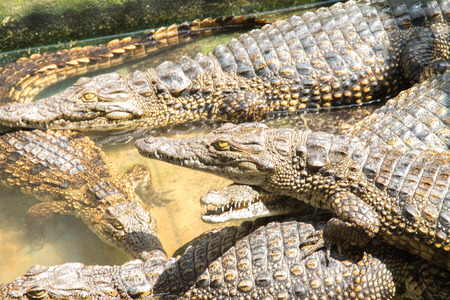 rafter: the yong crocodile in the farm Stock Photo