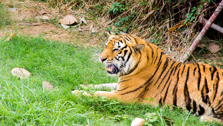 the tiger in the cage form thailand photo
