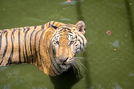hunter's: Tiger is hunters in the forest