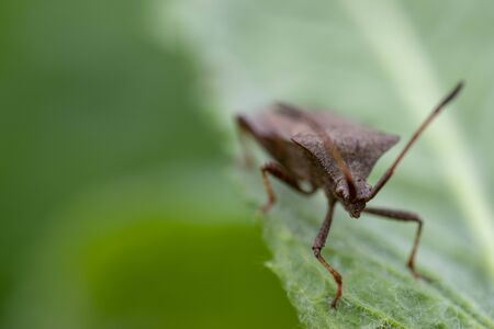 Portrait of a young stink bug resting on a plant Standard-Bild