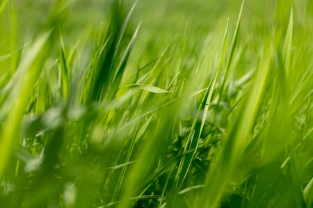 Young green grass in the sun. Abstract natural green wallpaper
