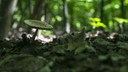 Lone white mushroom on a fabulous green forest background