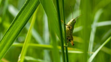Funny green grasshopper on a blade of grass