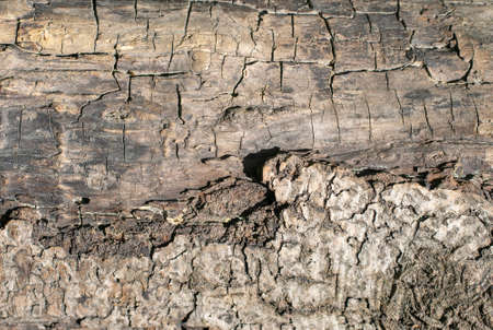 Oak wood texture, old dry trunk