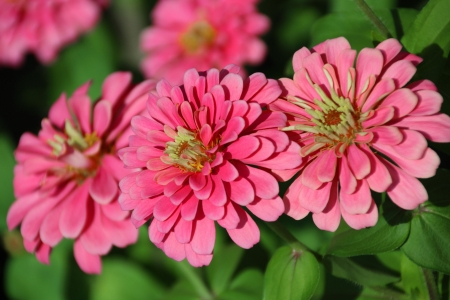 petunias: Zinnia Flower - Zinnia violacea