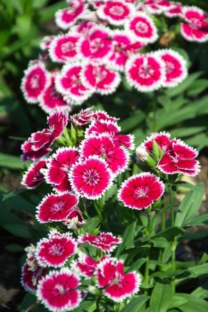 william: Dianthus, Sweet william Stock Photo