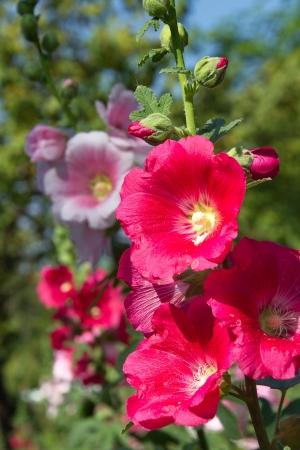 alcea: Flor Malva - Alcea rosea Foto de archivo