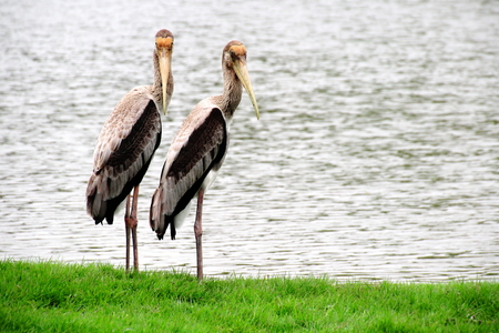greengrass: Painted storks Standing on Greengrass with the Lake Background Stock Photo