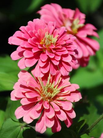 african daisy: Closed Up Zinnia Flower, African daisy - Zinnia violacea