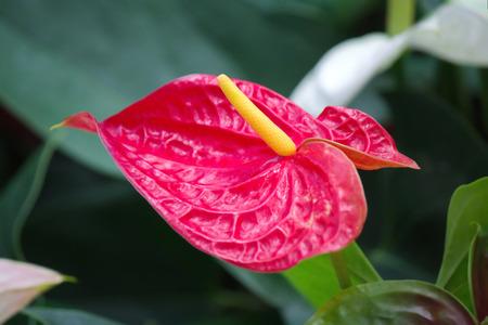 spadix: Anthurium or Spadix Flower in the Garden Stock Photo