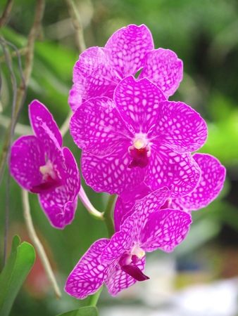 purple orchid: Thai Purple Orchid in the Farm