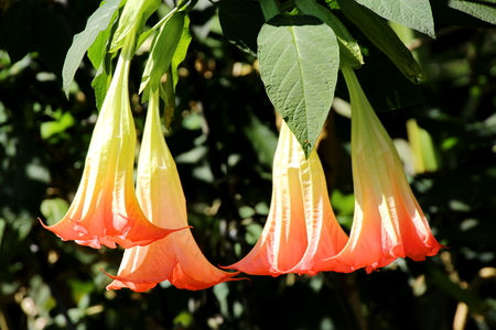 intoxicating: Angel Trumpets, Brugmansia, Datura Flower in the Garden in Chiang Mai, Thailand Stock Photo