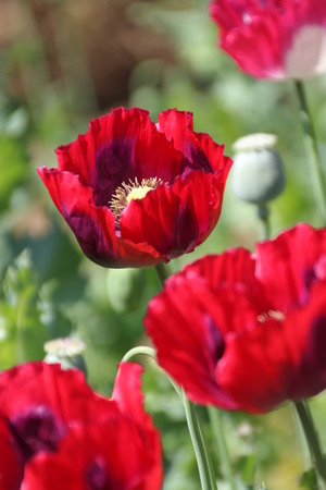narcotism: Red Opium Poppy Flower in Chiang Mai, Thailand