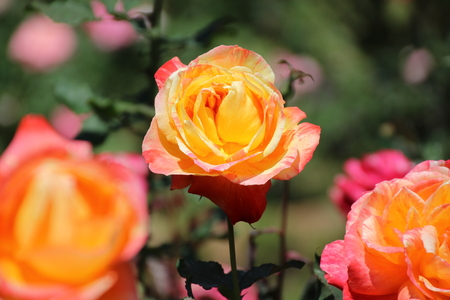 orange rose: Orange rose in the Garden in Chiang Mai, Thailand Stock Photo
